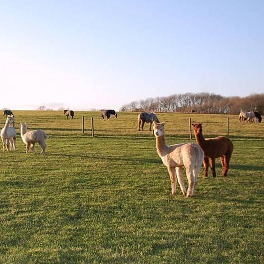 Alpacas and horses