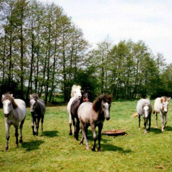 Camargue foals