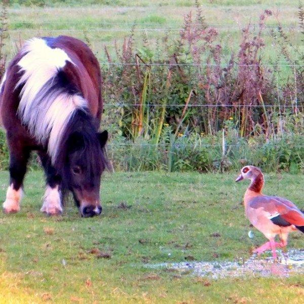 Shetland and Egyptian goose
