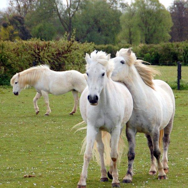 Camargue Horses at Valley Farm